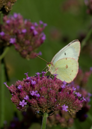 Pink-Edged Sulphur on Verbena