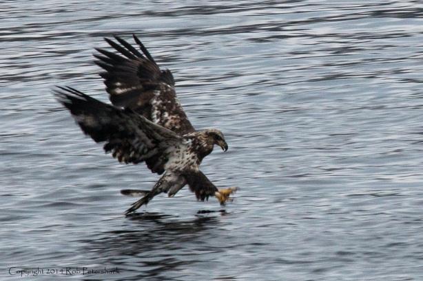 Bald Eagles - January 10, 2014 - 235