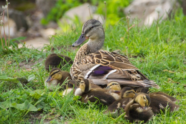 Ducklings - May 31, 2014 - 392