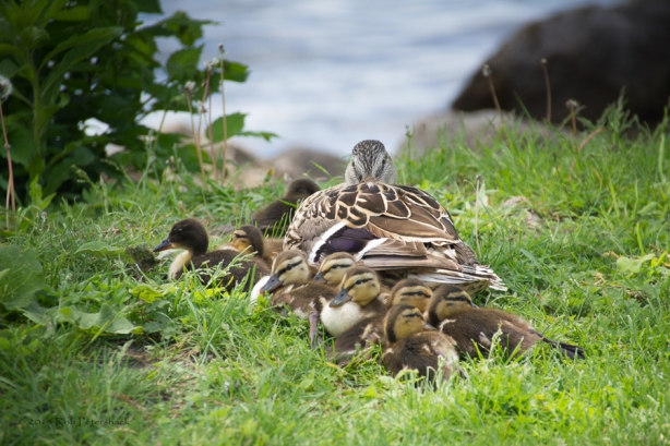 Ducklings - May 31, 2014 - 409