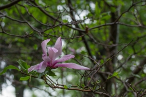 Magnolia after heavy rain - May 27, 2014 - 003