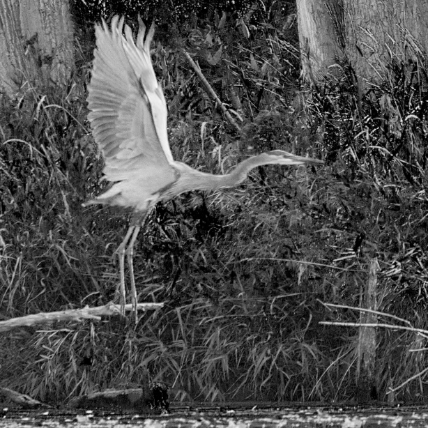 Great Blue Heron Takes Off - October 02, 2013 - 192-(Black and White)