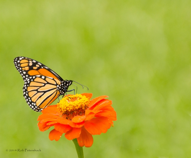 Monarch in front garden - August 25, 2014 - 0014-2