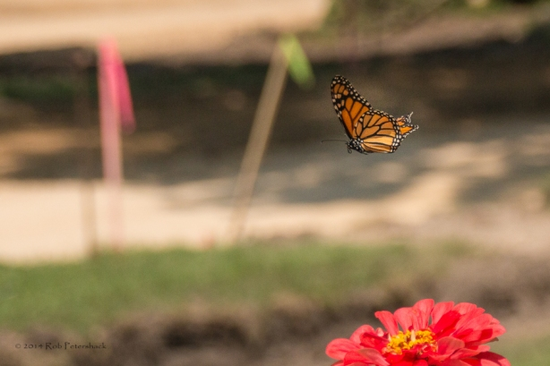 This monarch butterfly is flying right next to our ongoing street  s