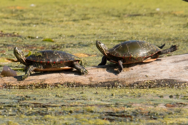 Turtles - September 26, 2014 - 604