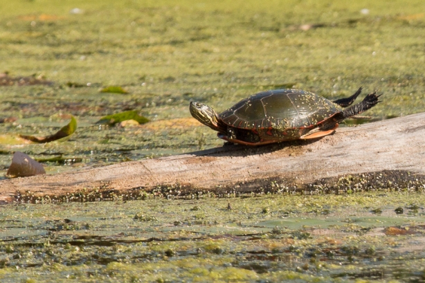Turtles - September 26, 2014 - 637
