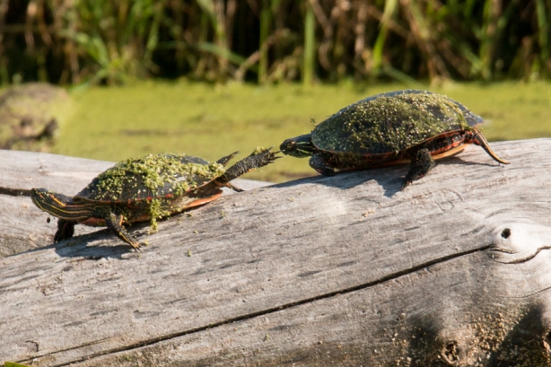 Turtles - September 26, 2014 - 670
