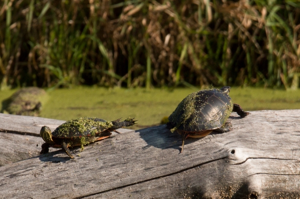 Turtles - September 26, 2014 - 680