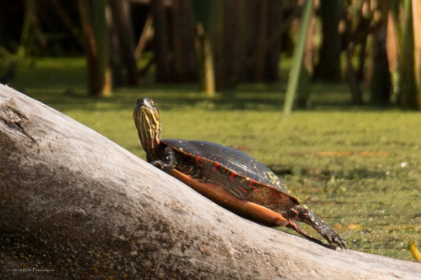 Turtles - September 26, 2014 - 709